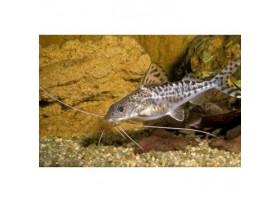 Silure ange, poisson chat ange, 3-5cm, Argenté et noir