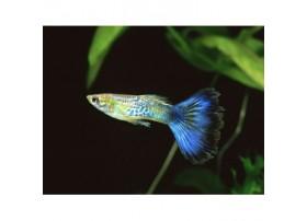 Guppy, 4-4,5cm, Cobra Bleue