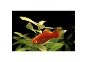 Platy, 4-4,5cm, Corail rouge