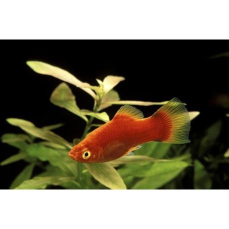 Platy, 4-4,5cm, Corail rouge