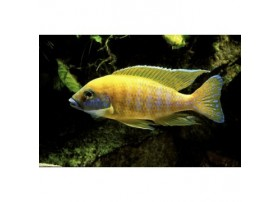 Paon jaune, 7-8cm, Jaune