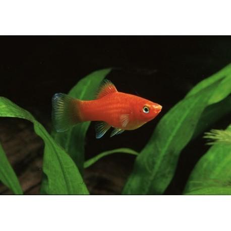 Platy, 3-3,5cm, Rouge