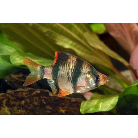 Barbus de Sumatra, 3-3,5cm, Rayé de bandes sombres