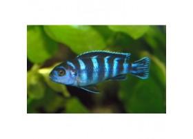Pseudotropheus demasoni, 4-5cm, Bleu