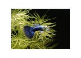 Guppy, +4,5cm, Bleu moscou, Mâle