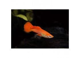 Guppy, 4-5cm, Rouge