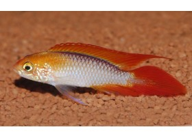 Apistogramma agassizii : A234, 4-5cm, Double red