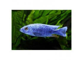 Haplochromis bleu électrique, 3-4cm, bleu