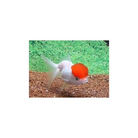 Tête de lion, 8-9cm, Red cap