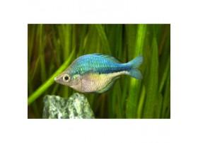 Poissonarc-en-cielturquoise, 4-5cm, Turquoise