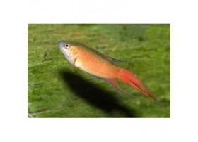 Poisson-paradis, 4-5cm, Rouge