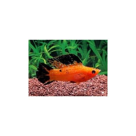 Molly voile, 6-7cm, Léopard rouge, couple