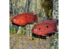 Cichlidé-bijou rouge-sang, 6-9cm