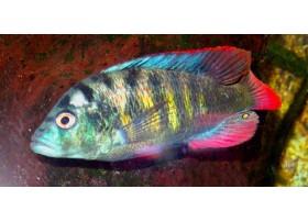 """Haplochromis sp """"thick skin"""""""