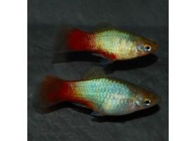 Platy, 4-5cm, Star bleu rouge vert