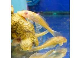 Pleco commun, 5-6cm, Doré aux yeux rouges