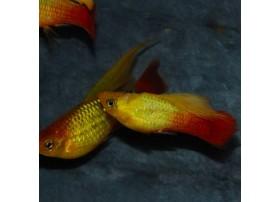 Platy-perroquet, 3,5-4cm, Variatus sunset voile