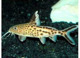 Multipunstatus, Coucou du Tanganyika, 5-6cm