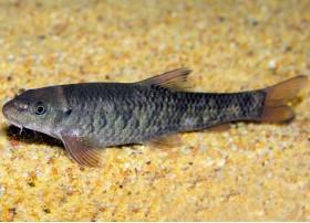 Poisson docteur, Fish pédicure, 2,5-3cm, Brun