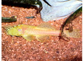 Ancistrus gold, Albinos, 3,5-4cm