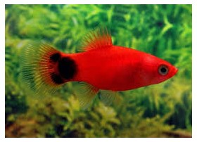 Platy, 3-3,5cm, Mickey rouge