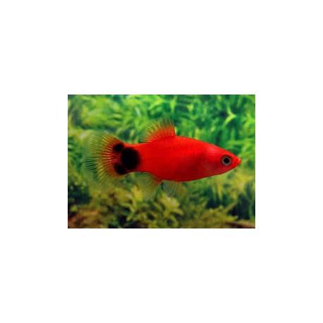 Platy, 3-3,5cm, Mickey rouge