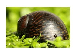 Escargots d'eau douce