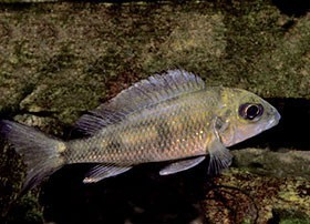 Cichlidés Africains du lac Tanganyika