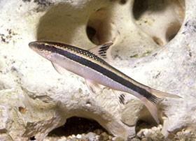 Locaridés, poissons de fond