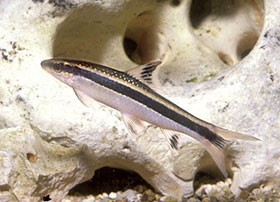Locariidés, poissons de fond