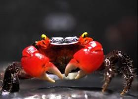 Crabes Amphibiens