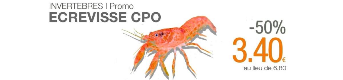 Cambarellus Patzcuarensis orange (CPO) à -50%